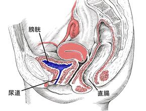 尿もれ 膀胱と尿道